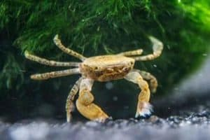 Pom pom crab (Ptychognathus Barbatus)