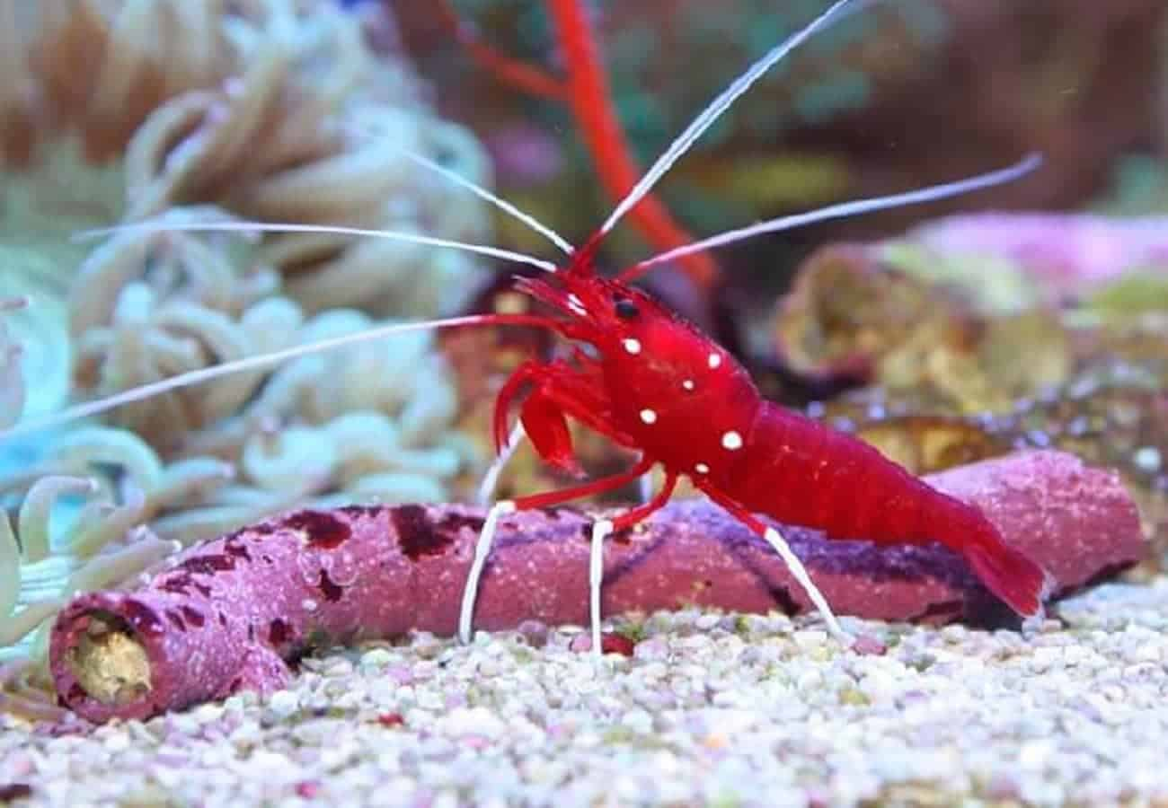 Lysmata Debelius Shrimp (Red fire shrimp)