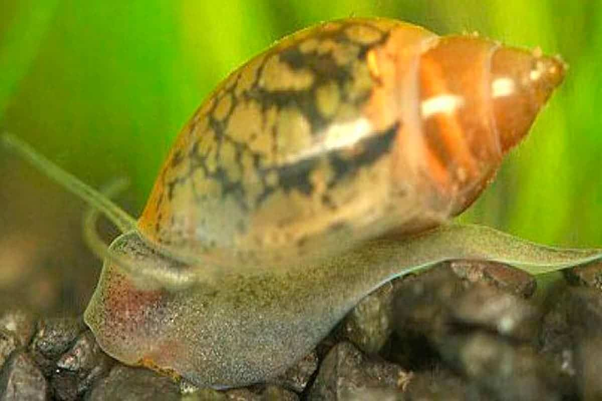 Bladder snails (Physa acuta)
