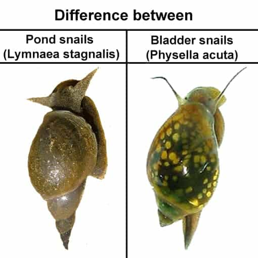 Difference between Bladder snail and Pond snail