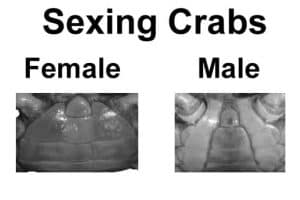 Female and male Crab difference