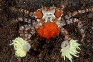 Female of The Boxer Crab (Lybia tesselata) with eggs