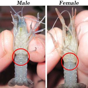 Sexing Crayfish male and female