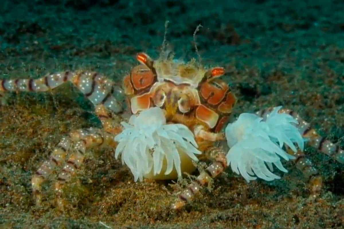 The Boxer Crab (Lybia tesselata)