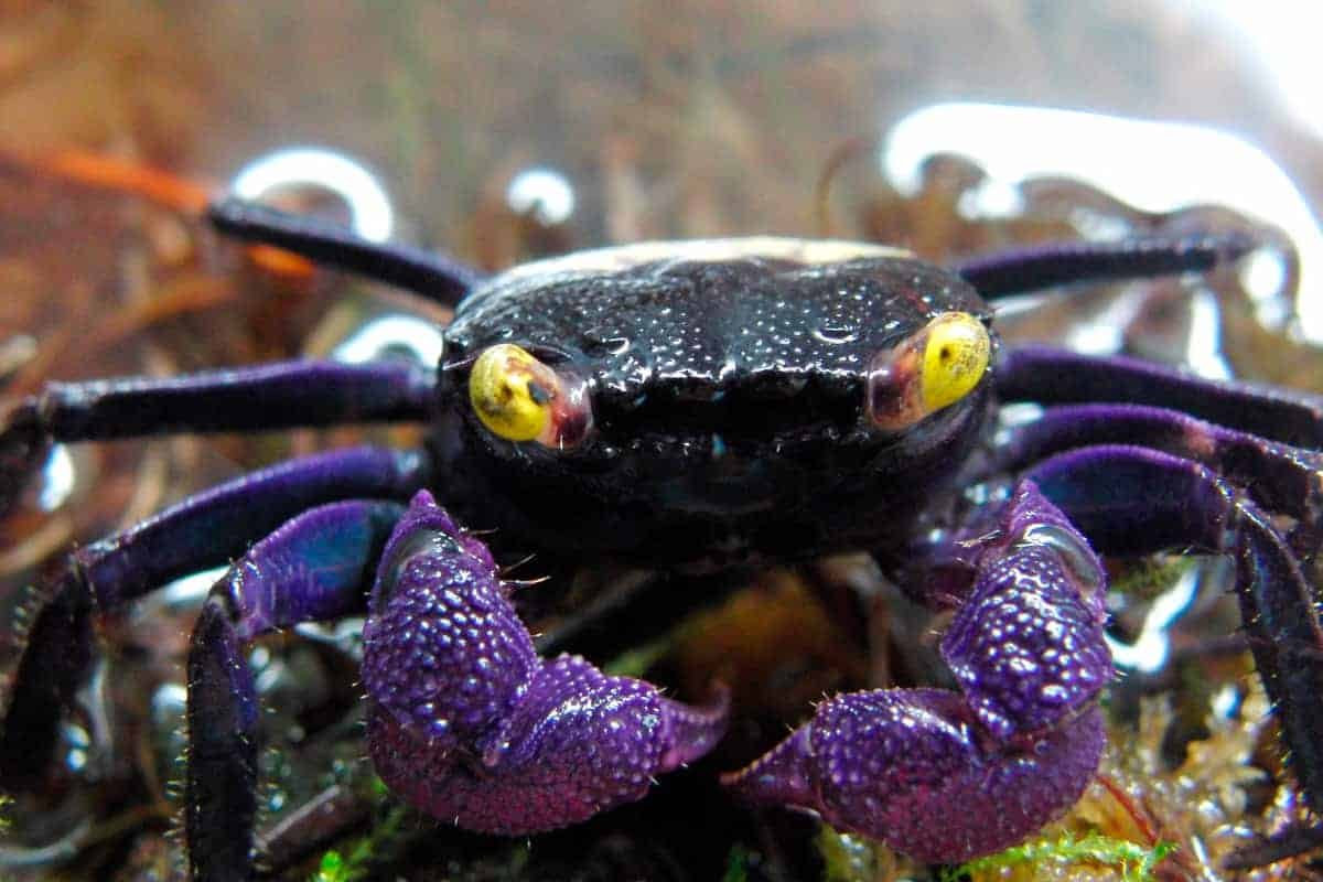 Vampire crabs (Geosesarma dennerle)