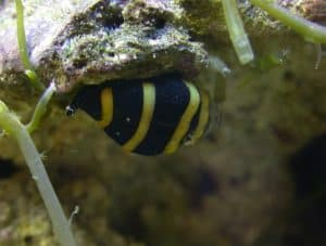 Bumble Bee snail (Engina mendicaria)