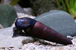 Devil Spike Snails (Faunus ater)