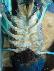 Female Procambarus alleni (Blue crayfish) with eggs