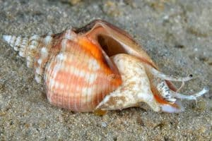 Fighting conch snail (Strombus alatus)