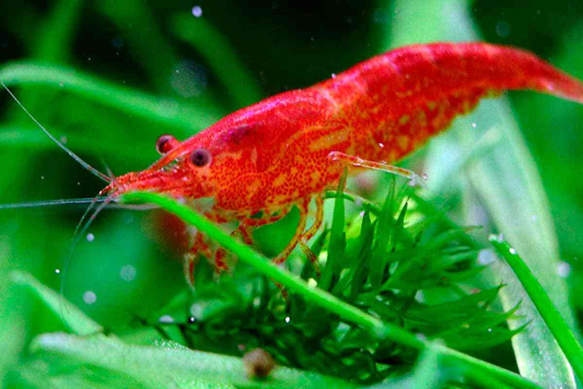 Guide How to Breed Shrimp. Red Cherry on the leaves