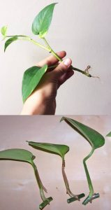 How to Use a Pothos Plant in Your Aquarium