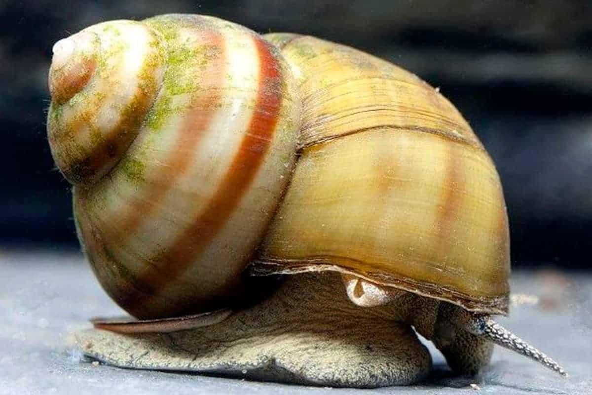 Japanese trapdoor snails (Viviparus sp)