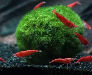 Marimo Moss Balls (Aegagropila linnaei) and shrimp
