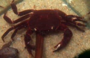 Matano crab (Syntripsa Matannensis)