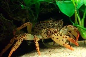 Panther Crab (Parathelphusa Pantherina) and big claw