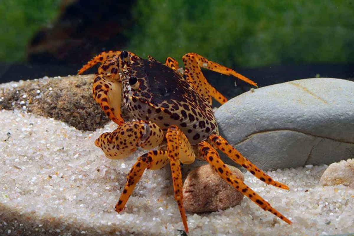 Panther Crab (Parathelphusa Pantherina)