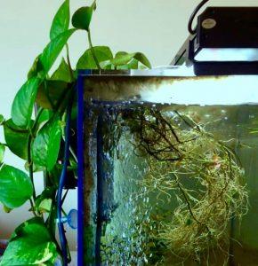 Pothos plant in a shrimp tank
