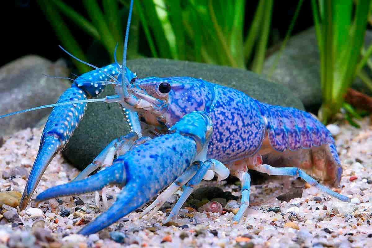 Blue Crayfish Detailed Guide Care Diet And Breeding Shrimp And Snail Breeder