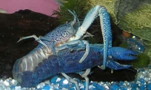 Procambarus alleni (Blue crayfish) mating