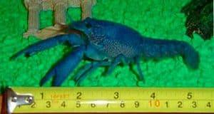 Procambarus alleni (Blue crayfish) size