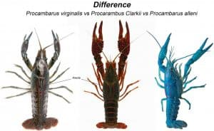 Procambarus alleni vs Procambarus virginalis and Procarambus Clarkii difference