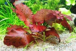 Red Tiger Lotus (Nymphaea zenkeri)