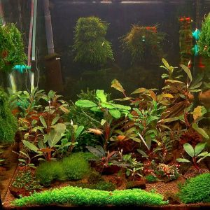 Aquarium Bucephalandra shrimp