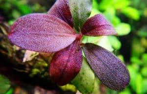 Bucephalandra Brownie metallica Phoenix