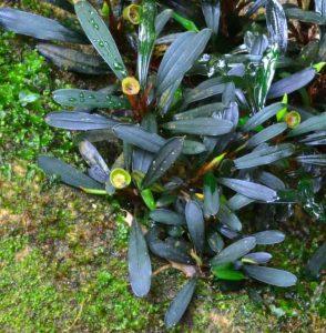 Bucephalandra Riam Seterap