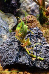 Bucephalandra planting