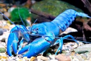 Cherax Destructor Crayfish – Detailed Guide Care
