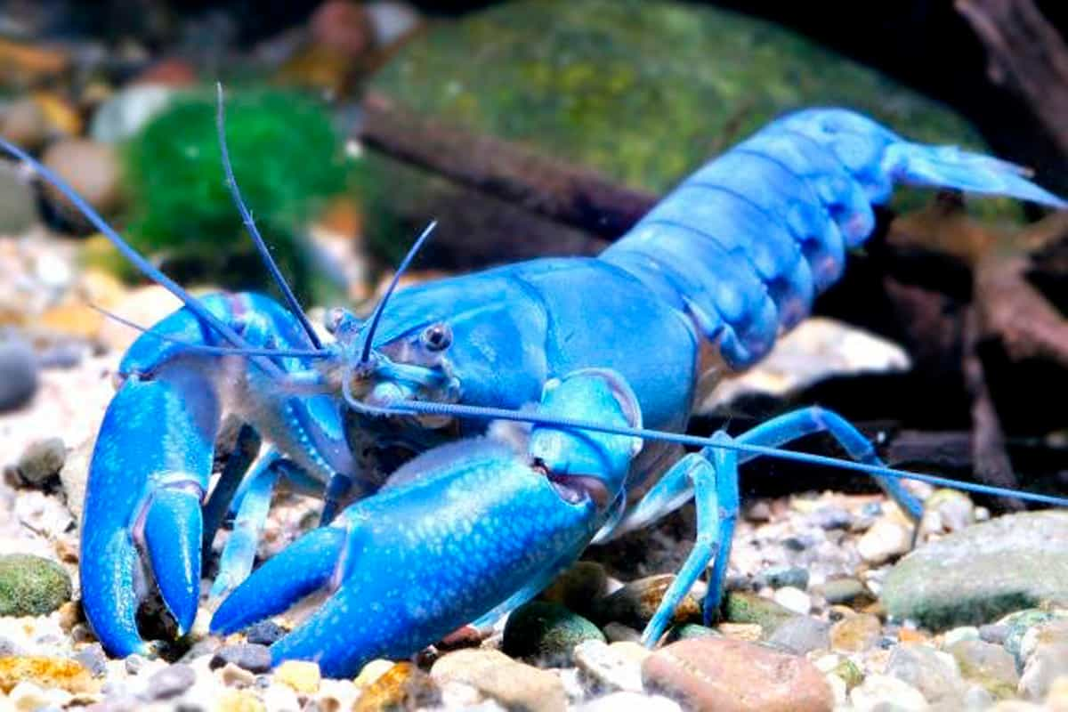 Cherax Destructor Crayfish – Detailed Guide: Care, Diet ...