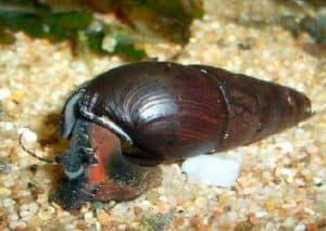 Faunus ater lava snail