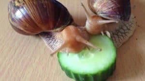 Giant African Land Snails, Lissachatina fulica, formerly Achatina fulica and apple and eating cucumber