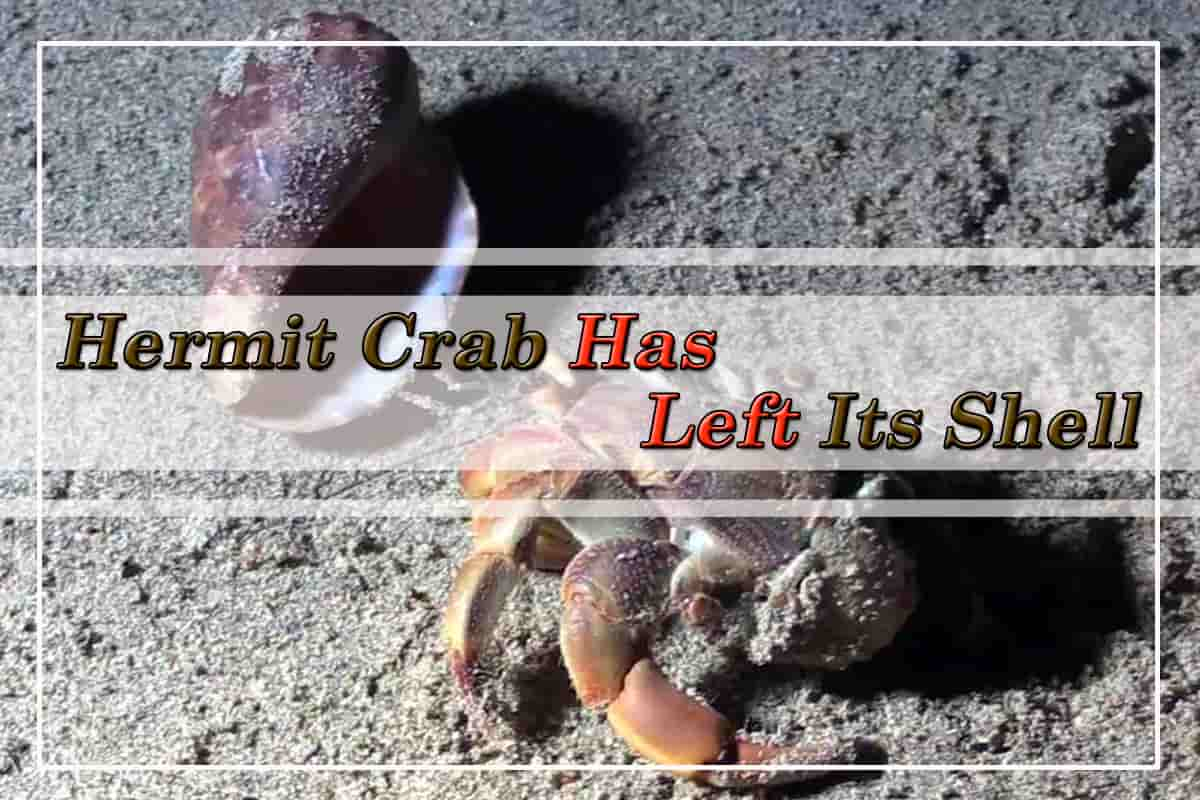 Hermit crab has left its shell