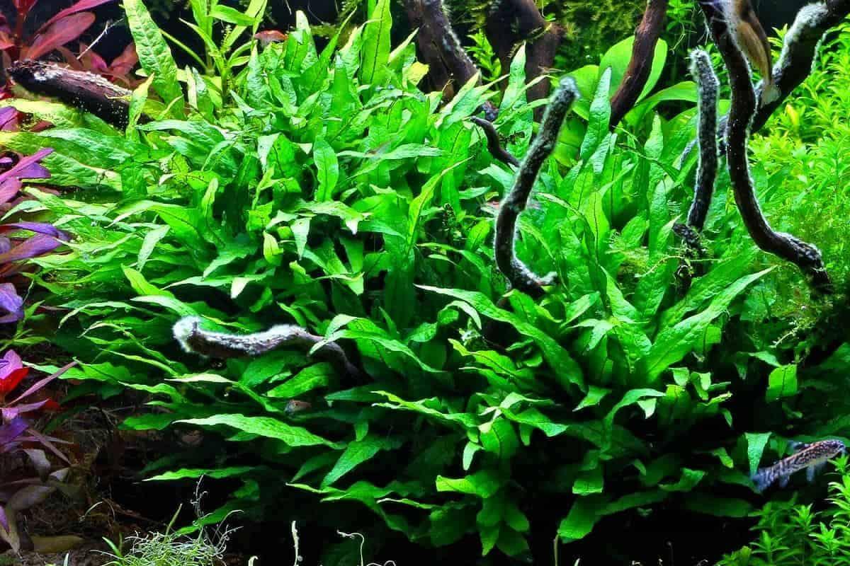 Java fern care guide