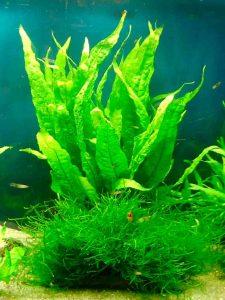 Java fern in aquarium