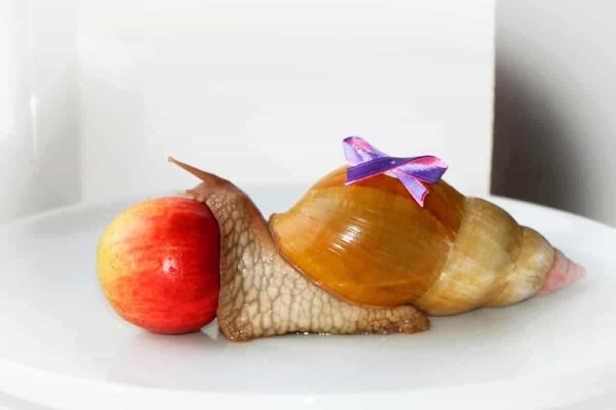 Giant African Land Snails, Lissachatina fulica, formerly Achatina fulica and apple