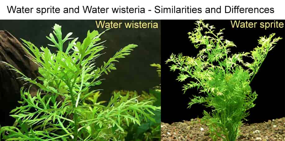 Water sprite and Water wisteria - Similarities and Differences