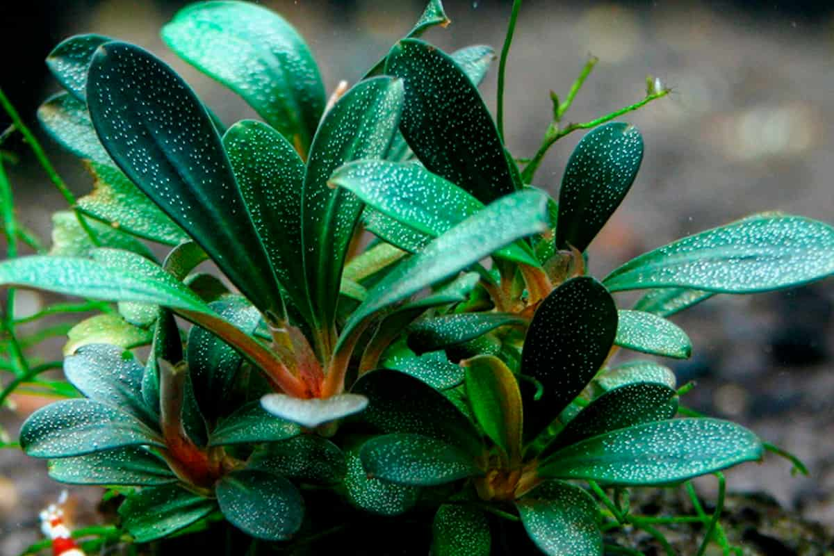 Bucephalandra plant