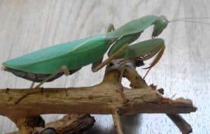 African mantis (Sphodromantis lineola) care