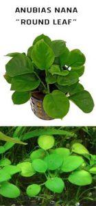 Anubias barteri Round Leaf
