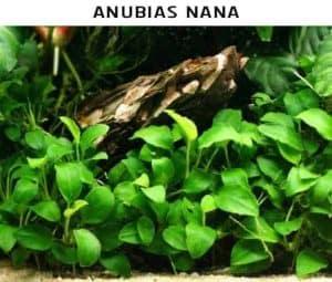 Anubias nana