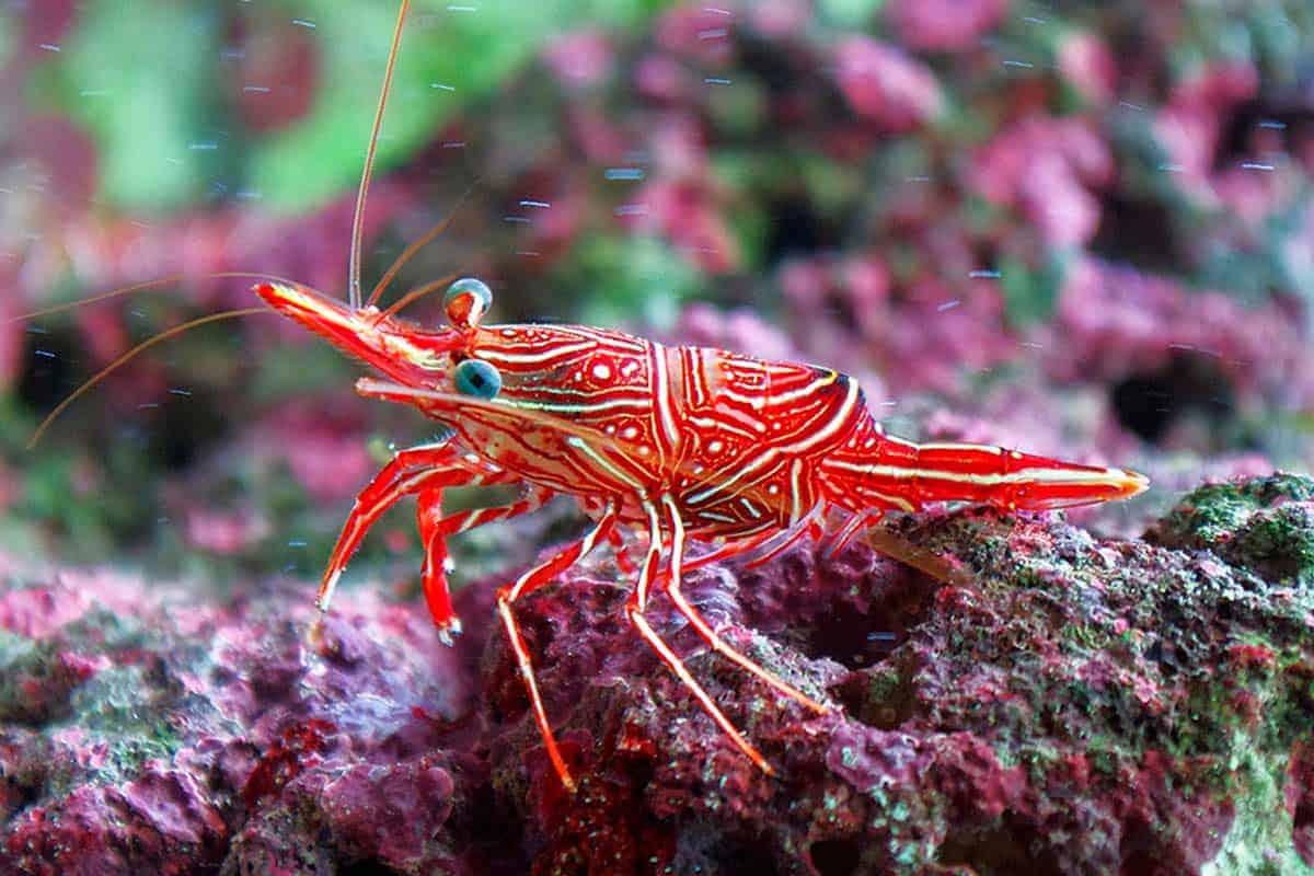 Camel shrimp (Rhynchocinetes durbanensis)