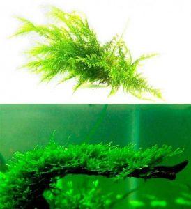Christmas moss (Vesicularia montagnei)