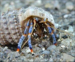 Clibanarius tricolor - Blue Leg Hermit Crab