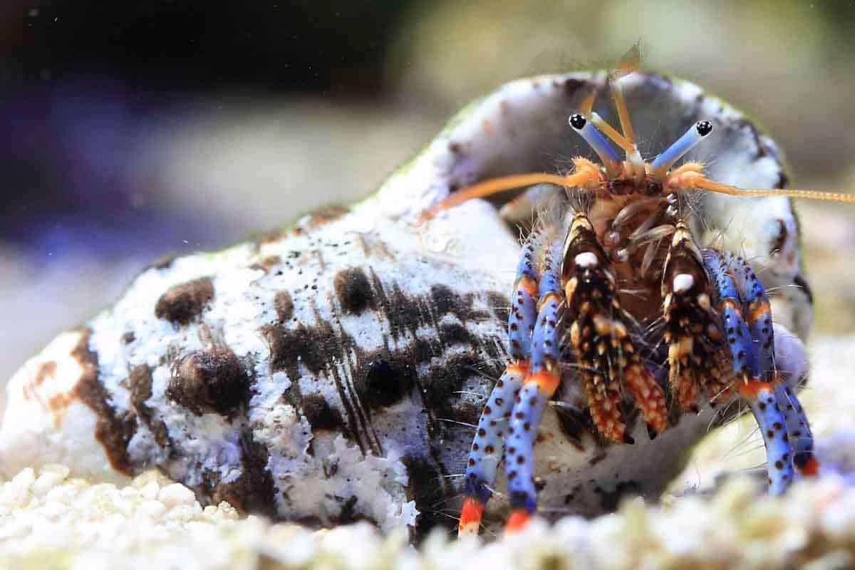 Clibanarius tricolor - Blue Leg Hermit Crab logo by Breo