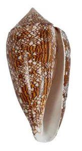 Conus textile snails shell
