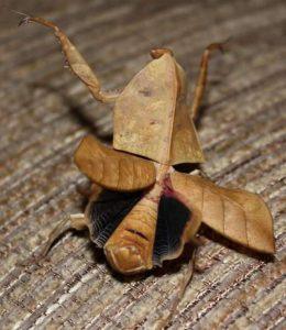 Dead Leaf Mantis (Deroplatys Desiccata) care