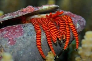 Halloween hermit crabs (Ciliopagurus strigatus) in narrow shell